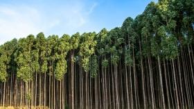 Espaciamientos para plantar eucaliptos en la Mesopotamia