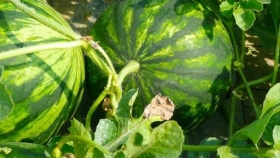 Fertilización en melón y sandía bajo las premisas de precocidad, grados Brix y rentabilidad