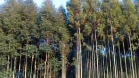 Clones de eucalipto: una valiosa herramienta para la silvicultura de precisión