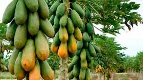 Un gen determinante del sexo podría ayudar a garantizar una mejor producción de papaya