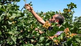 La apuesta de los agricultores sirios por el pistacho, su cultivo tradicional
