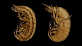 Baja en la esperma de unos crustáceos revela la alta contaminación en un área costera