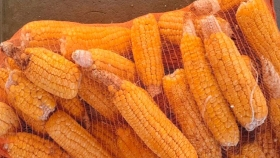 Choclos dulces: INTA lanzó dos nuevas variedades de maíz para agricultura familiar