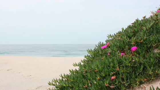 La planta invasora uña de gato amenaza los ecosistemas costeros de la Península