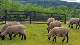 Anunciaron el remate de ovinos y caprinos para febrero