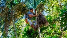 Açaí misionero: la producción sustentable de frutos de palmito gana terreno en Andresito