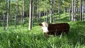Los forrajes del Paraná: cuando ganadería y forestación potencian los rendimientos