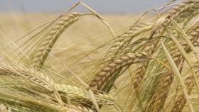 Cebada: qué hay que tener en cuenta antes de la siembra