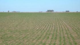 Trigo: proyectan siembra de 7 millones de hectáreas y cosecha de 20 millones de toneladas.