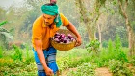 El cultivo de berenjena transgénica en Blangadesh incrementó los beneficios de los agricultores un 21,7%
