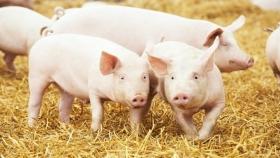 Una economía circular que permite transformar las excretas de cerdo en un fertilizante orgánico de alto valor