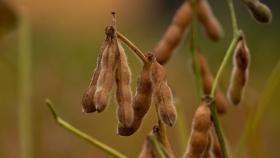 Soja: anuncian un vendaval de exportaciones de aceites y harinas