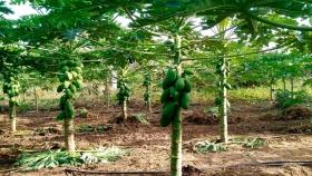 Aumenta la producción de frutas de mamón en el norte de Corrientes