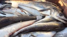 Ponen en marcha campaña de investigación sobre merluza común y rayas