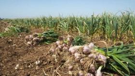 Cosecha 2021: ya se sufre la falta de cosechadores en el ajo y la cereza