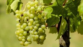 El renacimiento de la uva criolla