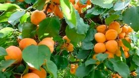 Damascos: productores sureños estiman pérdidas de entre 60% y 80% en sus fincas