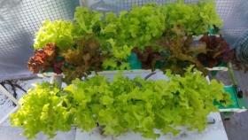 Súper verduras con la técnica hidropónica