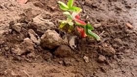 Nuevo proyecto en la unidad demostrativa de plantines de frutilla