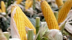 Estudio descarta efectos adversos por el cultivo de maíz transgénico en Europa