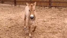 Logran clonar un caballo que murió hace 20 años