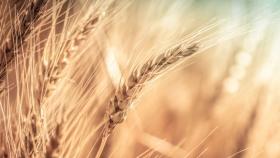 Rusagro de Rusia reducirá el área de trigo de primavera, los atributos se trasladan a un nuevo régimen fiscal