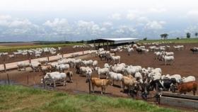 El buen manejo del ganado en confinamiento es fundamental para una producción rentable