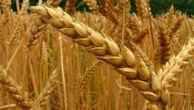 La vuelta triunfal del trigo a Cuba