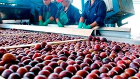 Lanzan fuerte beneficio para productores e industriales de ciruela de Mendoza