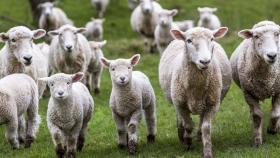 Prepararán más de 20.000 corderos para exportar a Estados Unidos