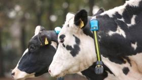 Los collares inteligentes que intensifican la producción lechera