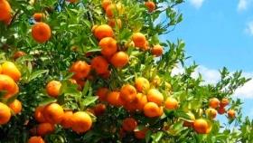 La mandarina sin semillas, un 30% más cara que la tradicional en EE.UU