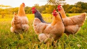 Inventan un sensor para detectar enfermedades en las gallinas