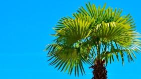 Productores de palmitos nacionales desean retomar las exportaciones este año