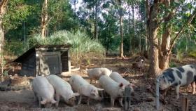 Producción de cerdos: Una propuesta para los más chicos