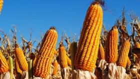 Bioeconomía: una fórmula para el crecimiento de la cadena del maíz