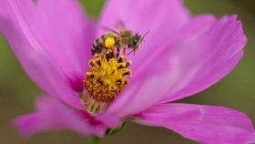 El valor económico de los servicios de polinización de insectos es mucho mayor de lo que se pensaba anteriormente en EE.UU