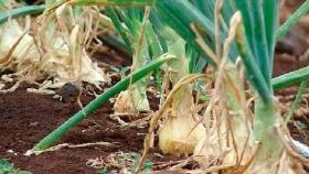 Brasil tendrá una abundante cosecha de cebollas