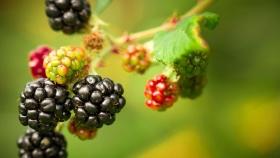 Hoja de ruta rusa para el desarrollo de la industria de frutas y bayas