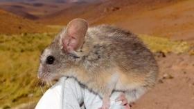 Descubren un ratón que vive a casi 7.000 metros de altura y resiste a -60°C en un volcán entre Argentina y Chile