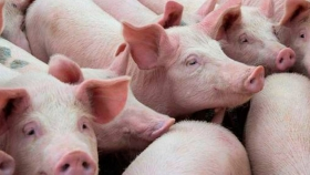 Situación actual y perspectivas del sector porcino