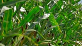 ¿Un nuevo cultivo en la Argentina?