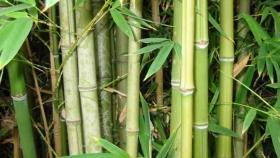 Bambú: la nueva estrella de la bioeconomía