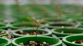Semillas de Eucalipto peletizadas, una técnica que agrega eficiencia al cultivo