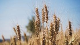 ¿A dónde se dirige el trigo australiano?