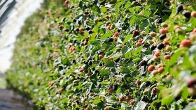 Aplicaciones de peróxido de hidrógeno en cultivo de mora para controlar oídio