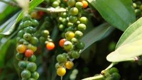 Exportaciones vietnamitas de pimienta a la India enfrentan desafíos