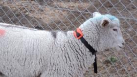 INTA está probando un collar que podría evitar el sobrepastoreo patagónico