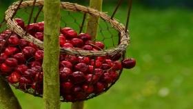 El COVID-19 mejora las posibilidades de los productores de cerezas de Michigan