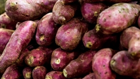 Por primera vez, Formosa exportó batatas a Inglaterra con el aporte técnico del INTA